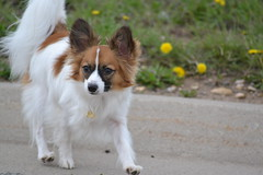 Taking a walk (Pappup2010) Tags: dog pet cute animal butterfly puppy toy small sable canine papillon pup breed pap toybreed butterflydog whiteandsable