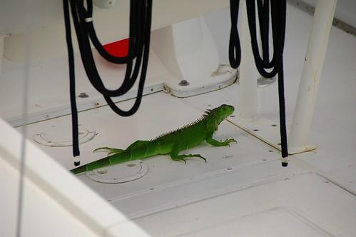 same iguana on boat
