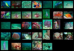 Koganezaki sealife 2007/10/14 (Nemo's great uncle) Tags: hermitcrab geotagged underwater map sealife lionfish parrotfish softcoral seafan             oplegnathusfasciatus  gymnothoraxkidako echinogorgia dendronephthya dardanus  dendronephthyasoftcoral seafeather orangecupcoral threadsailfilefish stephanolepiscirrhifer brutalmoray  pteroislunalata  tubastraeafaulkneri geo:lat=34843106 geo:lon=138762866 calotomusjaponicus threelinedgrunt parapristipomatrilineatum japaneseshrimpgoby amblyeleotrisjaponica goldencurlyfish cirrichthysaureous virgulariahalisceptrum mottledspinefoot  siganusfuscescens stripedbeakperch bluelinedangelfish chaeotodontoplusseptentrionatis