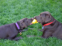 Lab Brats fighting over Cuz toy