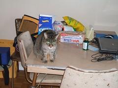 Princess on the kitchen table (Hans Last) Tags: cats pets animals kitties
