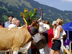 Swiss Simmental Cow (golden road) Tags: mountains schweiz switzerland kuh cow cattle cows suisse bell swiss september berge svizzera alp bovine septembre bernois berner cowbell bernese vache alpabfahrt rivella glocke fleckvieh oberland lenk simmental ststephan bostaurus kuhglocke decoratedanimal obersimmental simentale