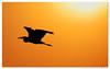 GBH (Nikographer [Jon]) Tags: md wildlife maryland easternshore september un national sep blackwater greatblueheron 2007 refuge nationalwildliferefuge nwr gbh marylandseasternshore blackwaterrefuge blackwaternationalwildliferefuge bnwr 20070908d20099234 extremeeditcolor jss20081