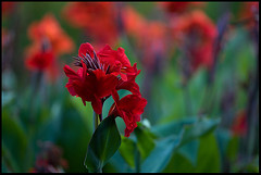 Shotgun Colour (ylvan) Tags: red summer flower green nature gardens canon botanical flora purple australia brisbane 300mm queensland botanicalgardens canna f35 themoulinrouge naturesfinest 160sec magicdonkey anawesomeshot mywhatbiglensyouhave