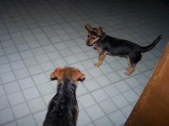 Exploring (bonkrood) Tags: puppy bubba jinx chorkie