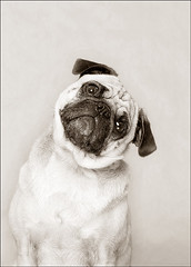 Harley, Pug (Piotr Organa) Tags: portrait bw dog pet white toronto canada black cute face animal adorable pug abigfave thelittledoglaughed impressedbeauty aplusphoto pet500 pet100 pet3000