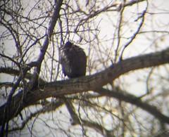 Black vulture 1