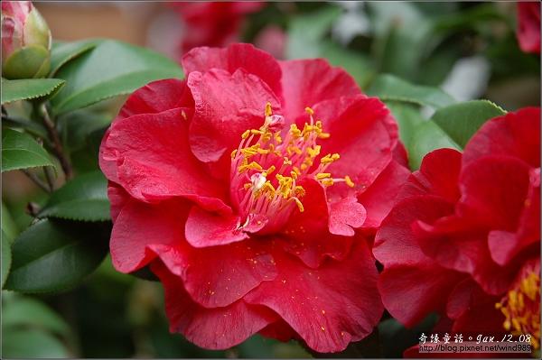 DSC_7171黑金(花卉試驗中心)