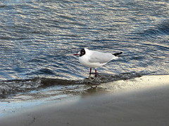 Black-Headed Gull by the Thames