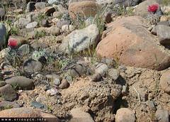 quebrada-choros (Spiniflores) Tags: eriosyce heinrichiana simulans eriosyceheinrichiana eriosycesimulans ja02 ja01