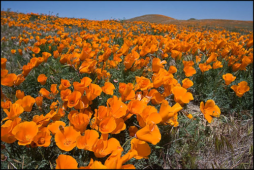 california poppy reserve. California Poppies, Antelope