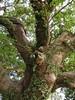 竹山鎮中和里救人老茄苳樹DSCN0172
