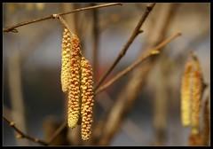 Schluchsee (motivsucher) Tags: germany blossoms schwarzwald blackforest schluchsee