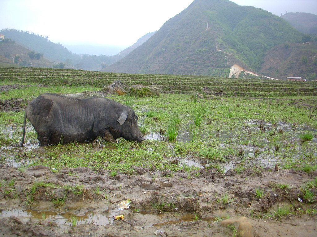 Cerdo comiendo