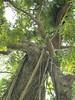 96.11.16竹崎鄉光華村茄苳風景區內的茄苳老樹DSCN3198