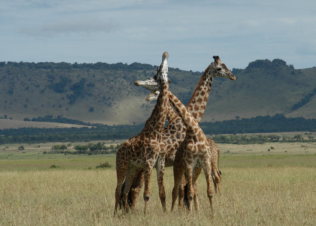 Giraffes at Mara Triangle in Kenya