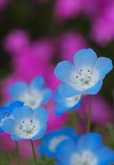 baby blue eyes (Sky-Genta) Tags: pink blue flower spring