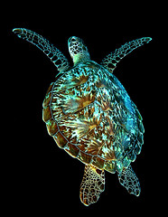 trtl0655pcw (gerb) Tags: topf25 beautiful topv111 1025fav 510fav wow indonesia topv555 topv333 pattern underwater turtle topv1111 topv999 scuba fv5 loveit pi wildanimal 1224mmf4g topv777 d200 animalplanet manado hawksbillturtle potofgold aquatica bunaken 1000v40f tvx imagesofharmony bfgreatesthits bflfgreatesthits theperfectphotographer natureselegantshots qualitypixels justhitmewithyourbestshotjune2008photoofthemonthcontestant