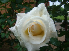 white rose  and drops 1 (riza_hylviu) Tags: white flower nature rose drops dsc watcher h9 dsch9