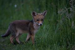 grasvosje.jpg (hoogmoet) Tags: nature netherlands wildlife natuur fox pup foxes vos potofgold vossen