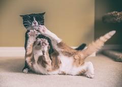 Hiyaaaaaaa! (Tracey Rennie) Tags: murdo ted bruvs karate theyloveeachother cat kitten theyretoofastforme littledoglaughedstories