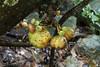 Ficus sp. (Zaharil) Tags: ficussplikelyficusschwarzii ficusmiqueliisynonym moraceae plant flora angiosperm fig tree fruit cauliflorycauliflorousbearingfruitonthestem nature biodiversity lowlandforest hillforest highlandmountainmontane1000masl tropical notevaluatediucnredlist peninsularmalaysia westmalaysia southeastasia floratreefruit cauliflorous