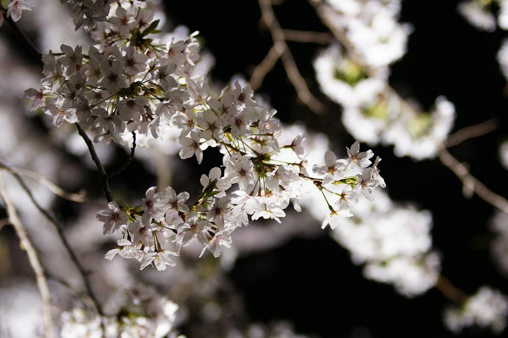 2010野川桜ライトアップ 4