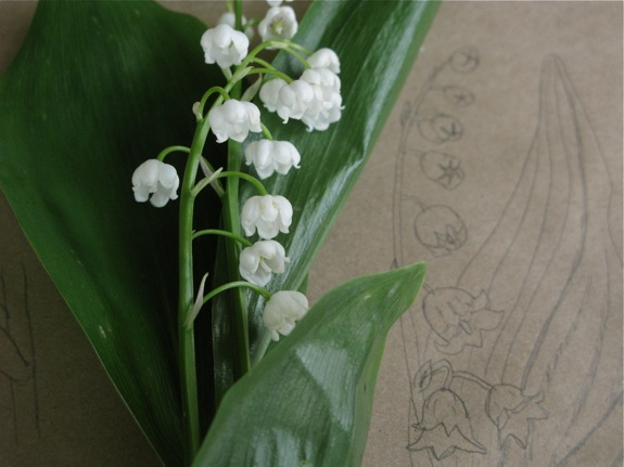 lily of the valley botanical diagram 007