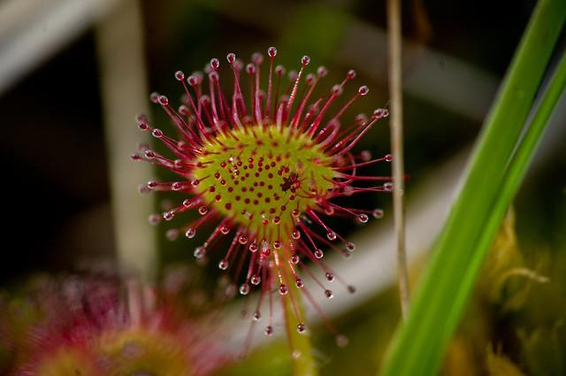 Sundew Plant Eating Sundew Plant