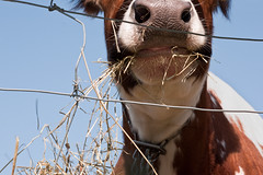 shooting fences can be a moo-oo-ving experience  :-) (marianna armata) Tags: blue sky silly animal tongue closeup fence mouth nose cow spring wire funny moo panasonic whiskers domestic hide hay friday marianna nostrils hff armata lumixg1 mariannaarmata asahipentax50mmprimemacrolens