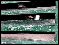 Cat looks out (PrintempsEmeraude (away)) Tags: cats persiana felini gatti