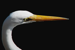 Eye of the egret (wolfpix) Tags: naturaleza bird eye heron nature birds animal animals fauna canon oakland wildlife natureza natur birding pssaro natura uccelli lakemerritt sanfranciscobay pajaro aus waterfowl vgel animais  egret birdwatching oiseau gara greategret vogel garas oiseaux hron uccello  fglar zog faune fgel lintu ibon ardeaalba ptaki  naturesfinest ptci wildnis fieldguidebirdsoftheworld    views300   canonpowershots3is  beautifulcapture  anawesomeshot animaisselvagens isawyoufirst diamondclassphotographer flickrwildlife  secretlifeofwhite avesborboletaslibelinhas lintujen  shpendve