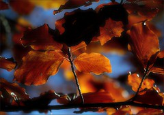 Autumn colors - autumn leaves / Colors de tardor - fulles de tardor (Ferran.) Tags: autumn nature leaves natura catalonia catalunya kdd lots pyrenees tardor ripolles pardines fulles supershot pardinalandia kddq