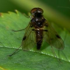 Chrysopilus cristatus (Walwyn) Tags: insect fly warwickshire diptera snipefly chrysopilus rhagionidae walwyn draycotemeadows chrysopiluscristatus profmoriartydotcom:book=21 profmoriartydotcom:book=278 profmoriartydotcom:book=349 profmoriartydotcom:book=348