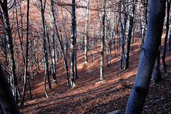 nel boschetto (apprendistasimo) Tags: autumn light red mountains nature foglie montagne canon photography eos woods natura passion autunno rosso bosco foresta faggi passionphotography faggeto 400d lightswood