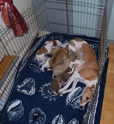 Animagi Whippets, 3 weeks old