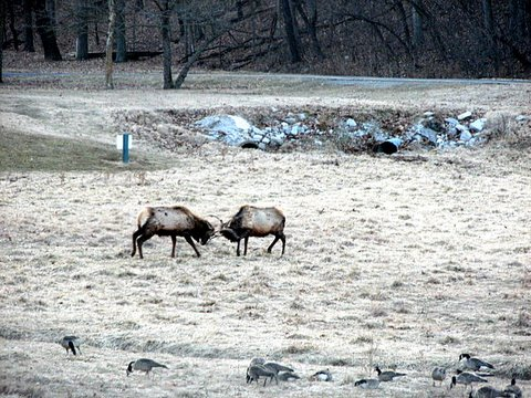 young elk stags fighting