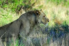 Stop to smell the flowers (jeremyhughes) Tags: morning male grass cat southafrica bush nikon leo lion bigcat d200 nikkor juvenile krugernationalpark kruger blueflowers nikond200 300mmf4d juvenilemale