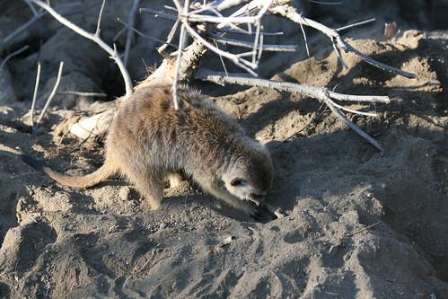 Meerkat Construction