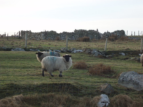 Sheep along the Borve River