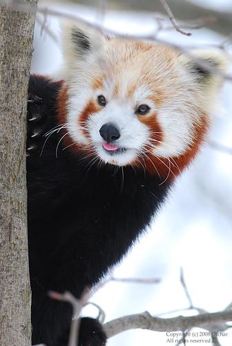 Red Panda :)=