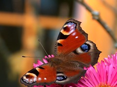 The last peacock butterfly in my garden 2 (Glockenblume) Tags: nature fauna butterfly garden insect catchycolours butterflies vivid peacock garten shiningstar schmetterlinge schmetterling peacocks tierbilder pfauenauge tagpfauenauge top20butterflymoth beautifulcapture tagfalter abigfave bonzag pfauenaugen butterflyblues isawyoufirst firsttheearth goldenphotographer diamondclassphotographer flickrdiamond megashot efania onlythebestare colourartaward floraandfaunaoftheworld theperfectphotographeraward natureislovely goldstaraward flickrbestpics