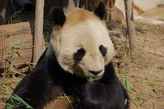 Kobe Pandas (pbrantner) Tags: japan kobe pandas tantan koukou