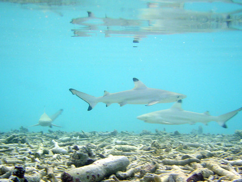 Maldives - reef sharks