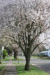 3-22 015 (wanabesadated) Tags: flowers oregon spring blossoms plumtree woodburn