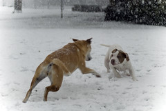 Cute Puppies Playing in Snow Dog Snow Playing Cute Dogs