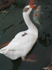 20080410-鵝-15