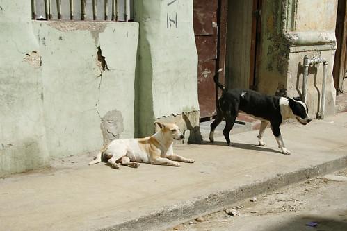 Dogs in Havana por Patricialicious.