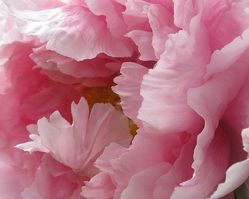 Paeonia, Tree Peony detail byTie Guy II on flick