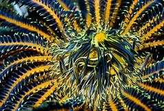 Crinoid clingfish (Discotrema monogrammum) (Arne Kuilman) Tags: macro closeup bunaken crinoid clingfish lekuan discotremacrinophila orcadivers crinoidclingfish comanthinaschlegeli discotremamonogrammum